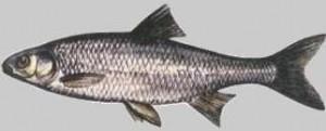 Jelec - Leuciscus leuciscus