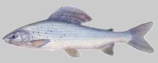 Lipień - Thymallus thymallus