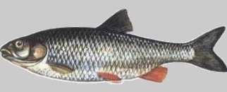 Kleń - Leuciscus cephalus